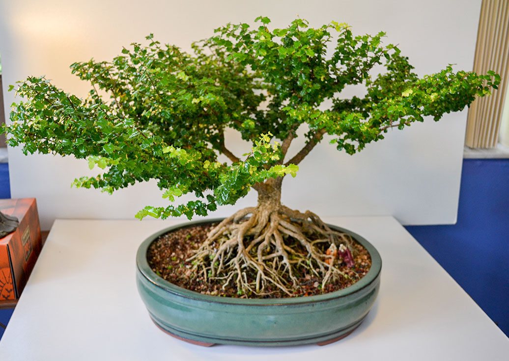 gallery_bonsai5.jpg