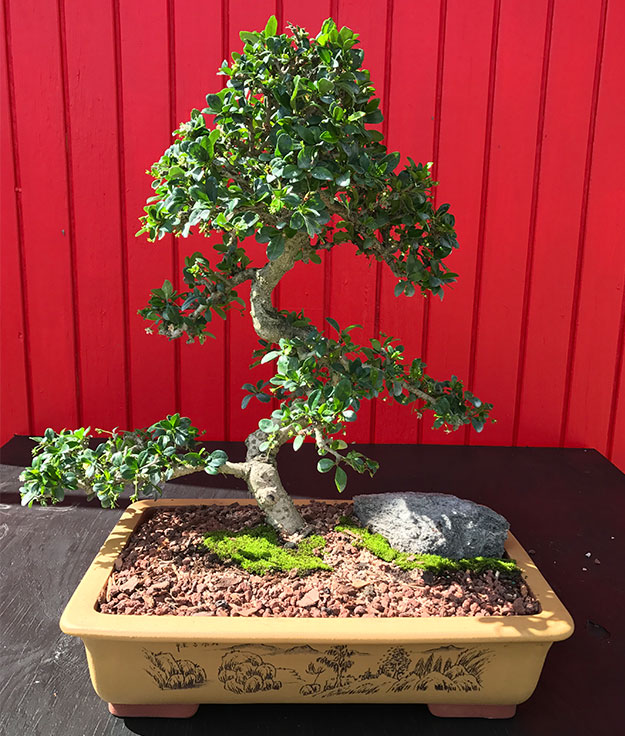 gallery_bonsai16.jpg