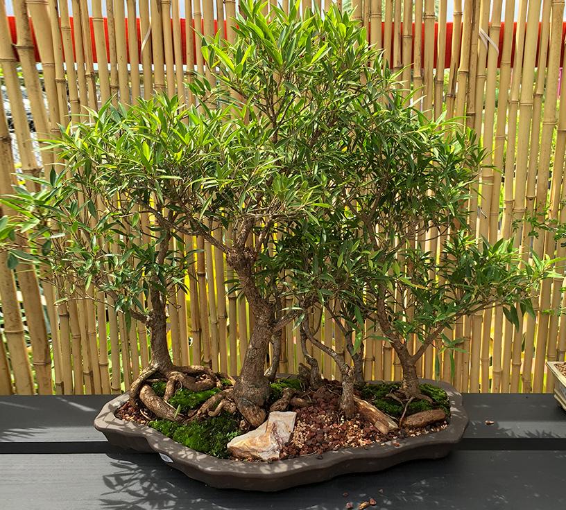 gallery_bonsai19.jpg