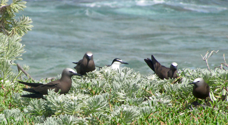 Bridled tern and brown noddies on littLE half moon cay, portland bight protected area