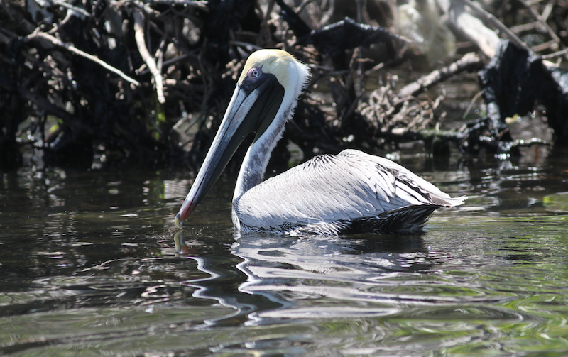 Brown pelican at refuge cay, NEAR port royAL