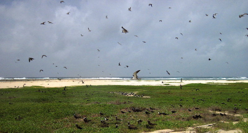 Terns on Middle cay, morant group