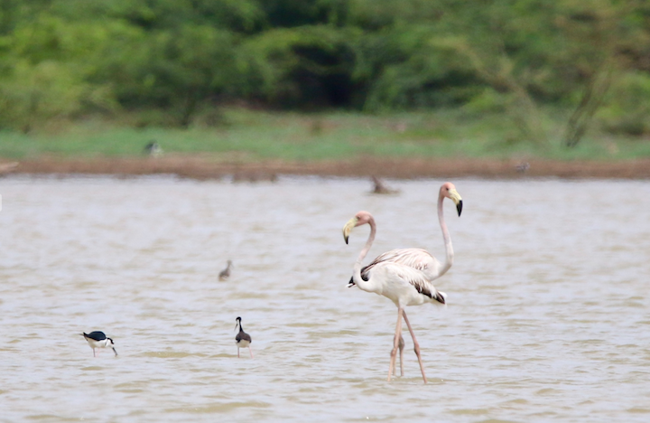 flamingoes at great pedro pond