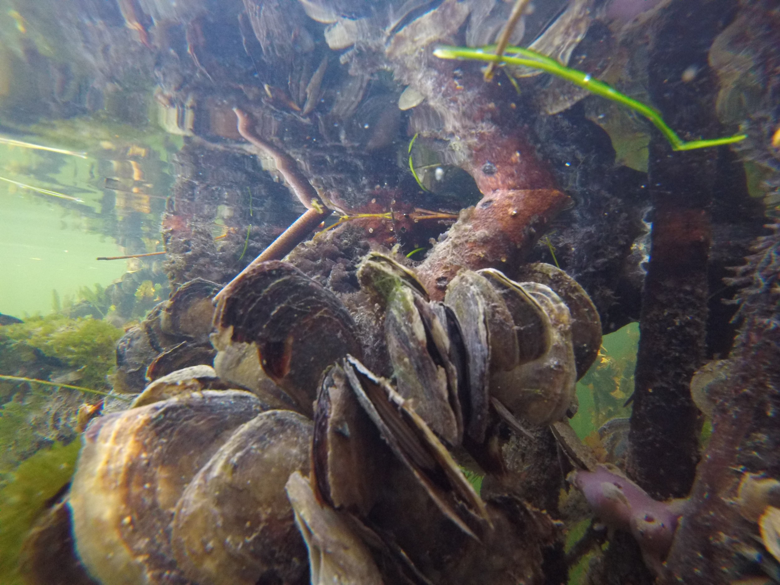 mangrove oysters
