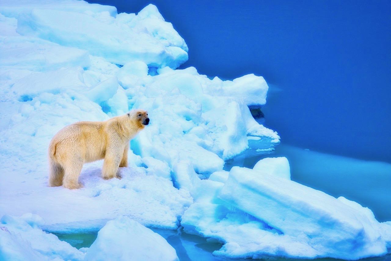 Y1080952 Polar Bear A.jpg