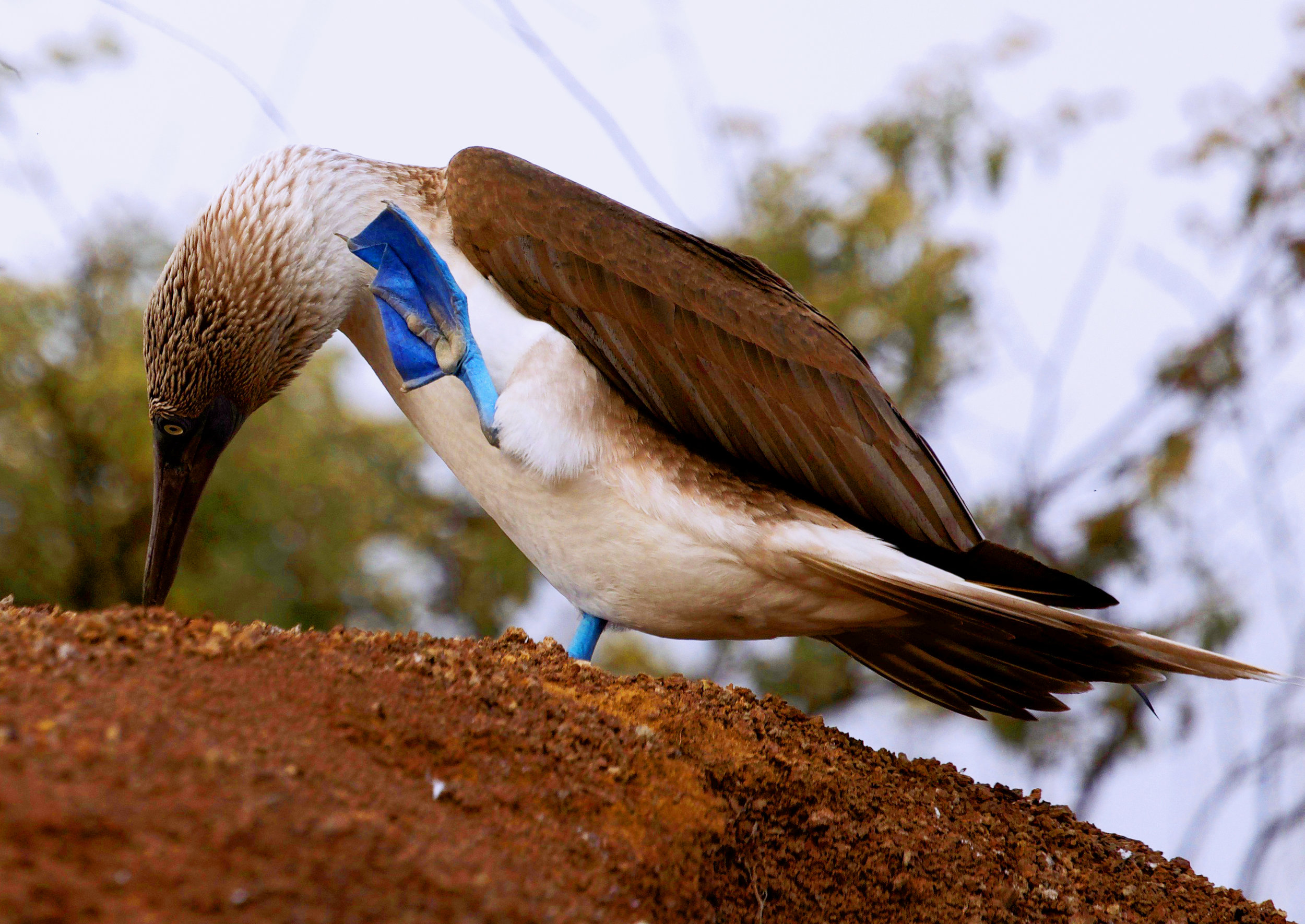 Y1140134 Blue-footed boobie.jpg