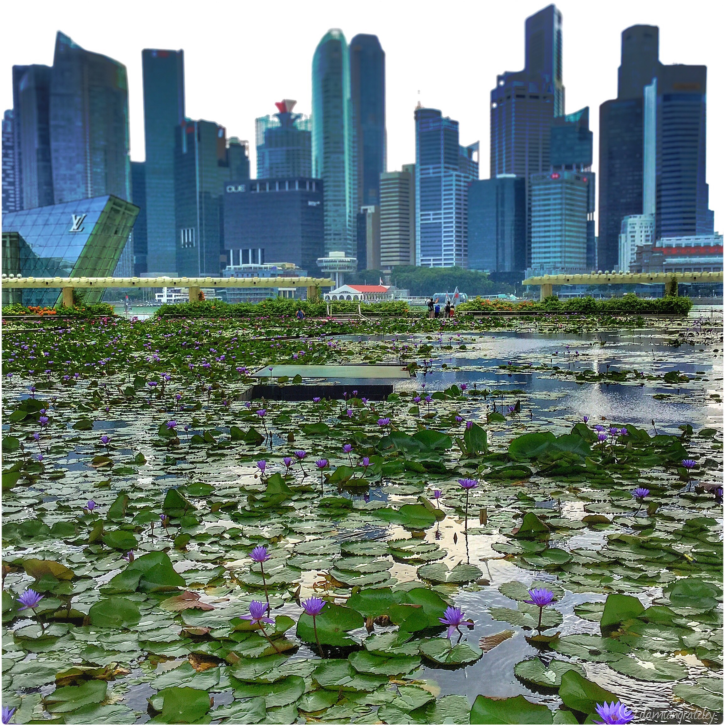 Marina Bay   'Water lilies is an extension of my life. Without the water the lilies cannot live, as I am without art'  – Claude Monet