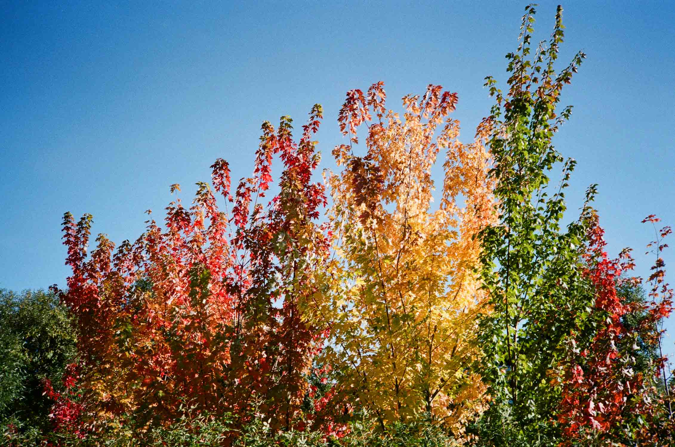 Photo of a rainbow-colored tree in Cathedral Park, Portland, OR