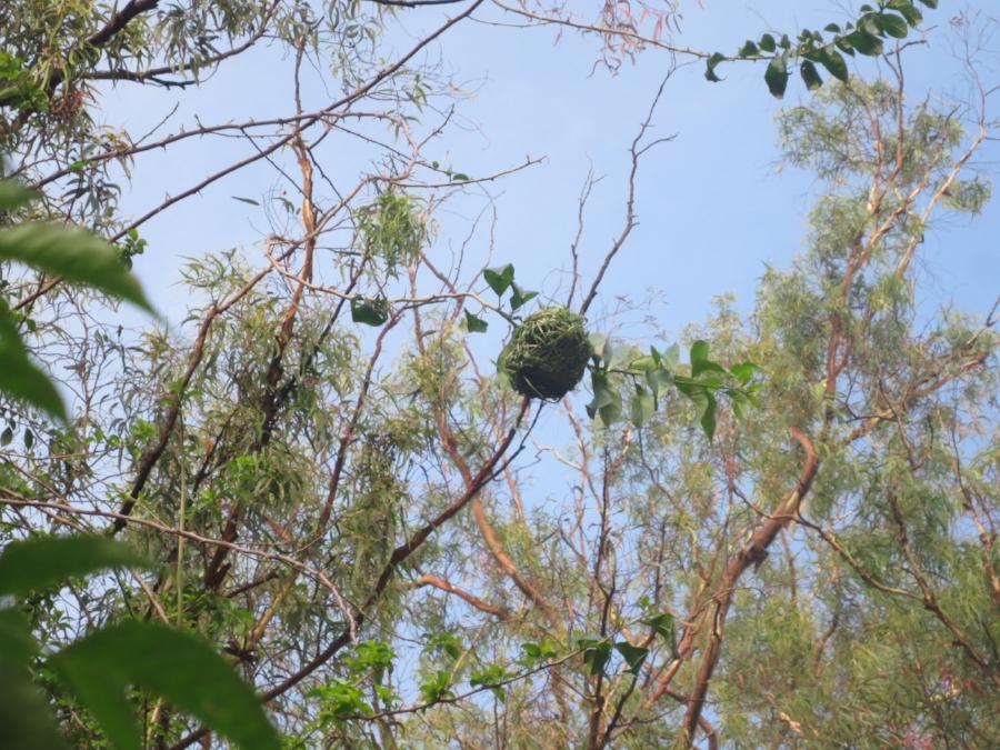 The weaver's nest