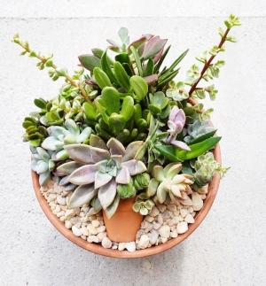 """SUCCULENT ARRANGEMENT   Add this beautiful succulent arrangement to your house plant décor. Variety of 12 different succulents in an 8"""" terra cotta pot.  DONOR: Jennifer McKercher VALUE: $35"""