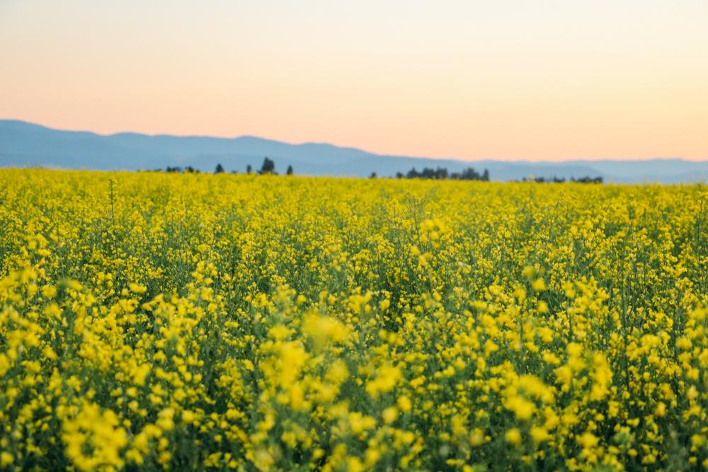 My Tapestry Heart- Canola Fields and Gingham