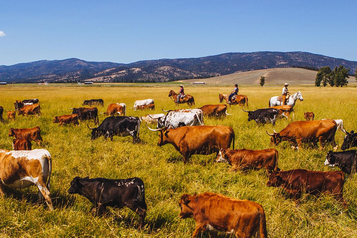 cattle-drive.jpg