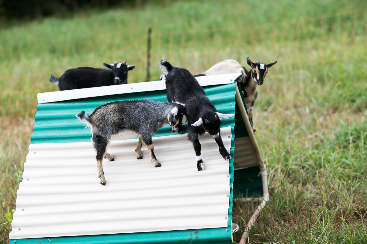 Yes, there were goats at their wedding!