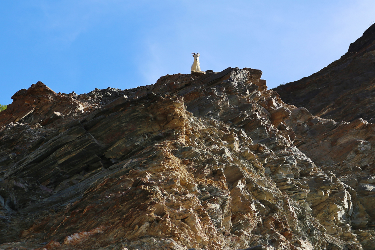 Dall sheep on cliffs above Bear Creek