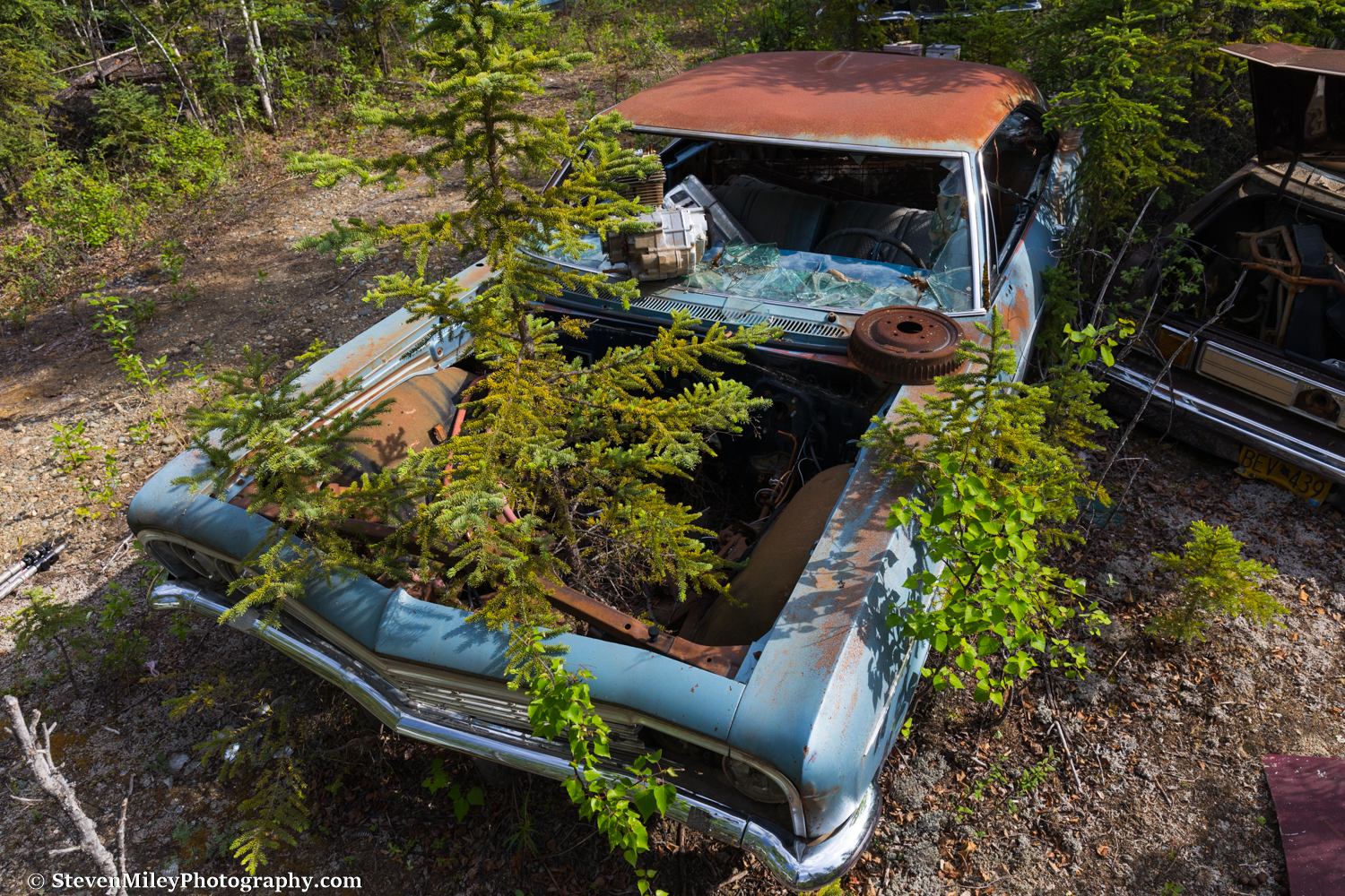 An eight-foot spruce tree grows through an old Chevy Impala.