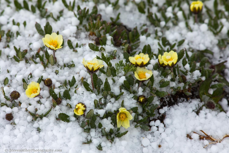Hail on Alaska poppies.