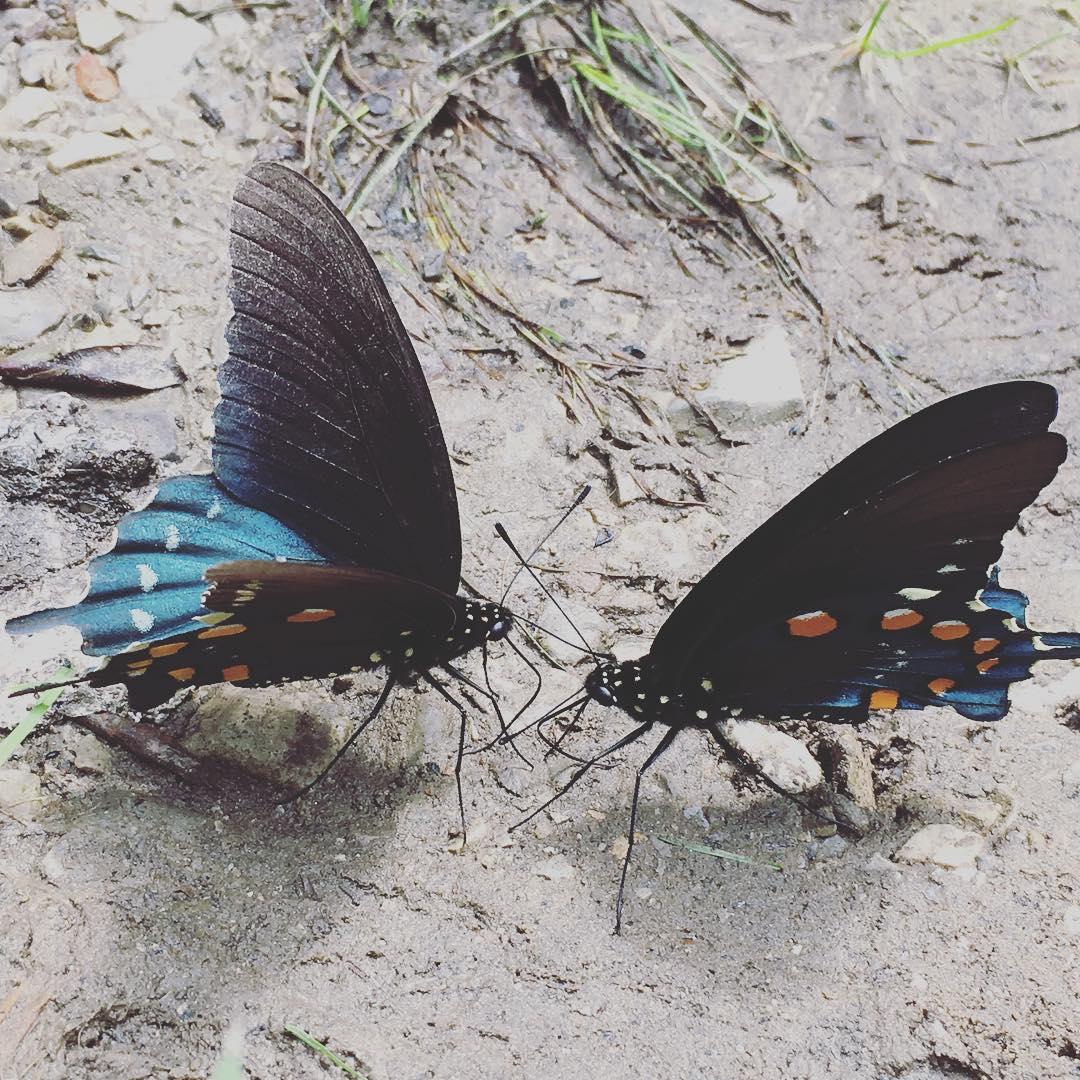2018butterflies smokies.jpg