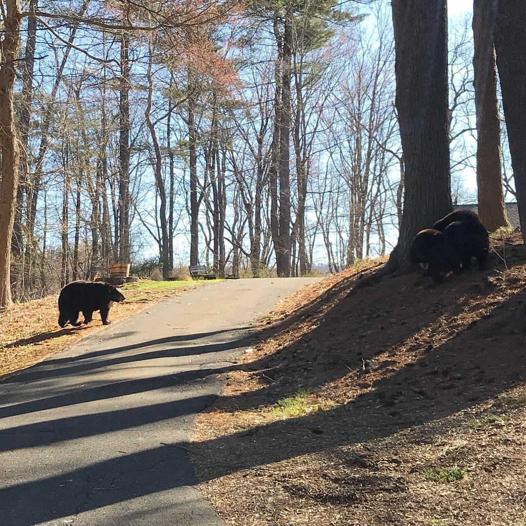 2019 bears on driveway.jpg