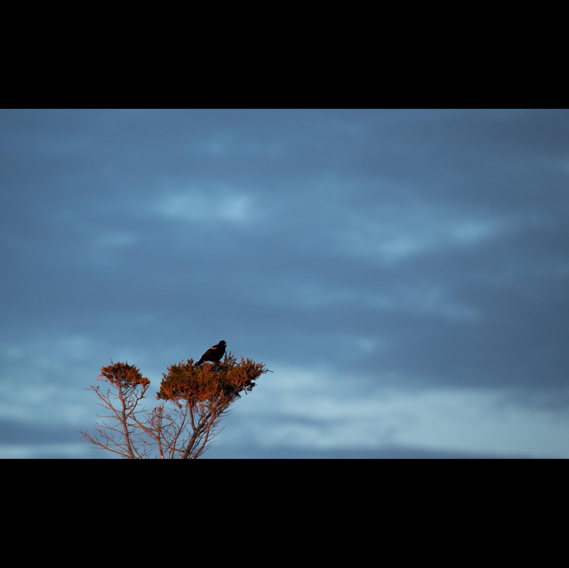 4.29 RED-WINGED BLACKBIRD
