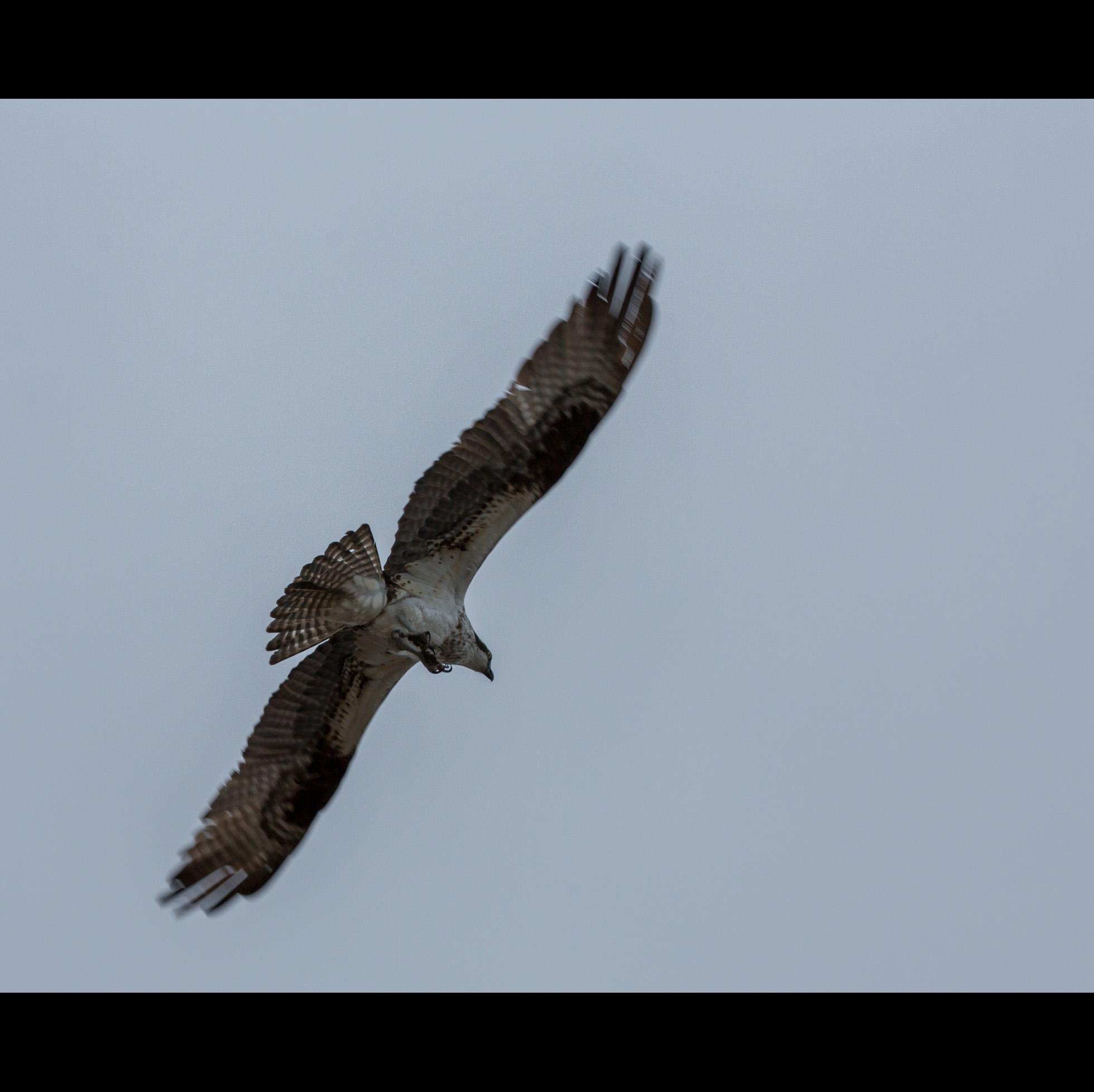 4.7 OSPREY FLYING