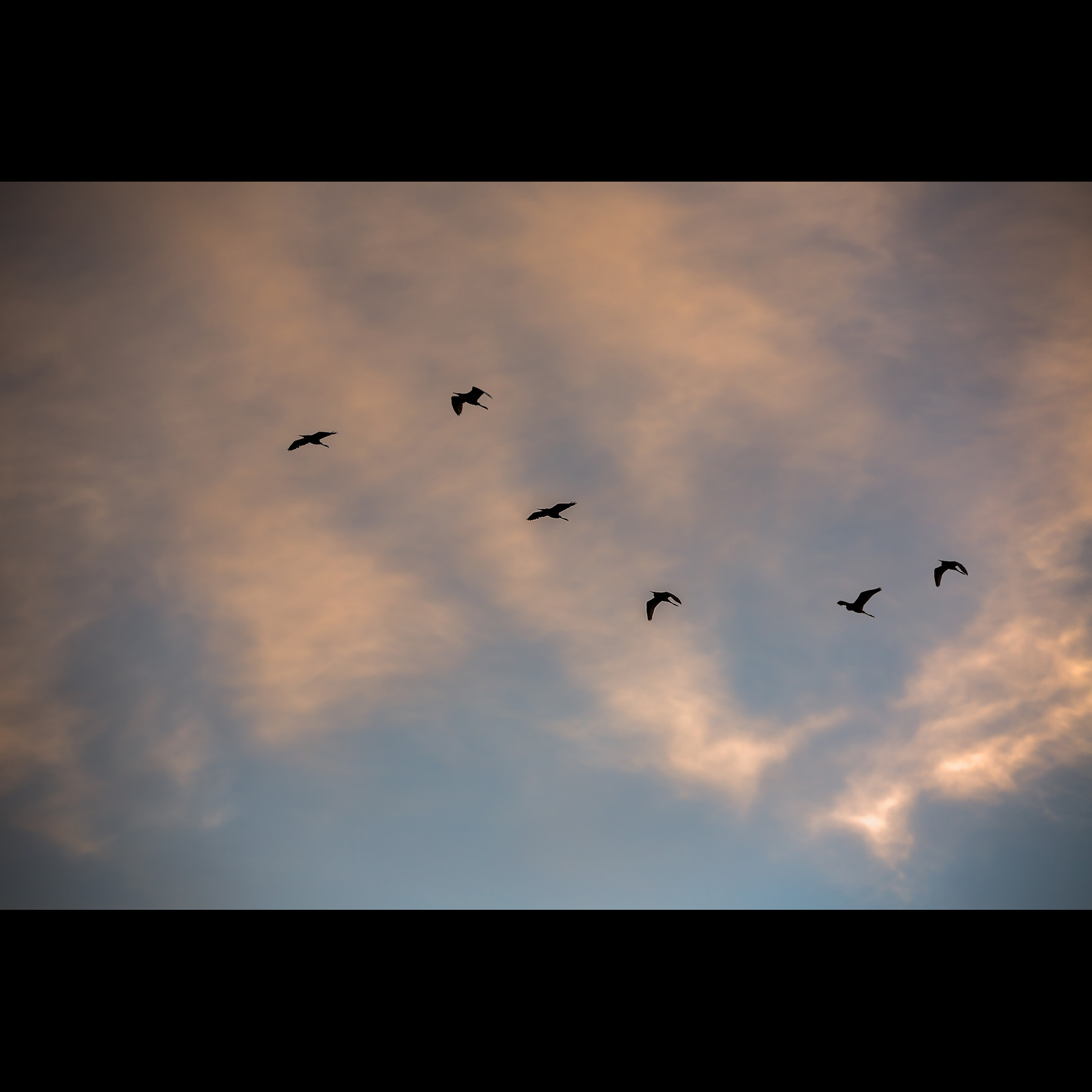 10.7 EGRETS ON THE WING