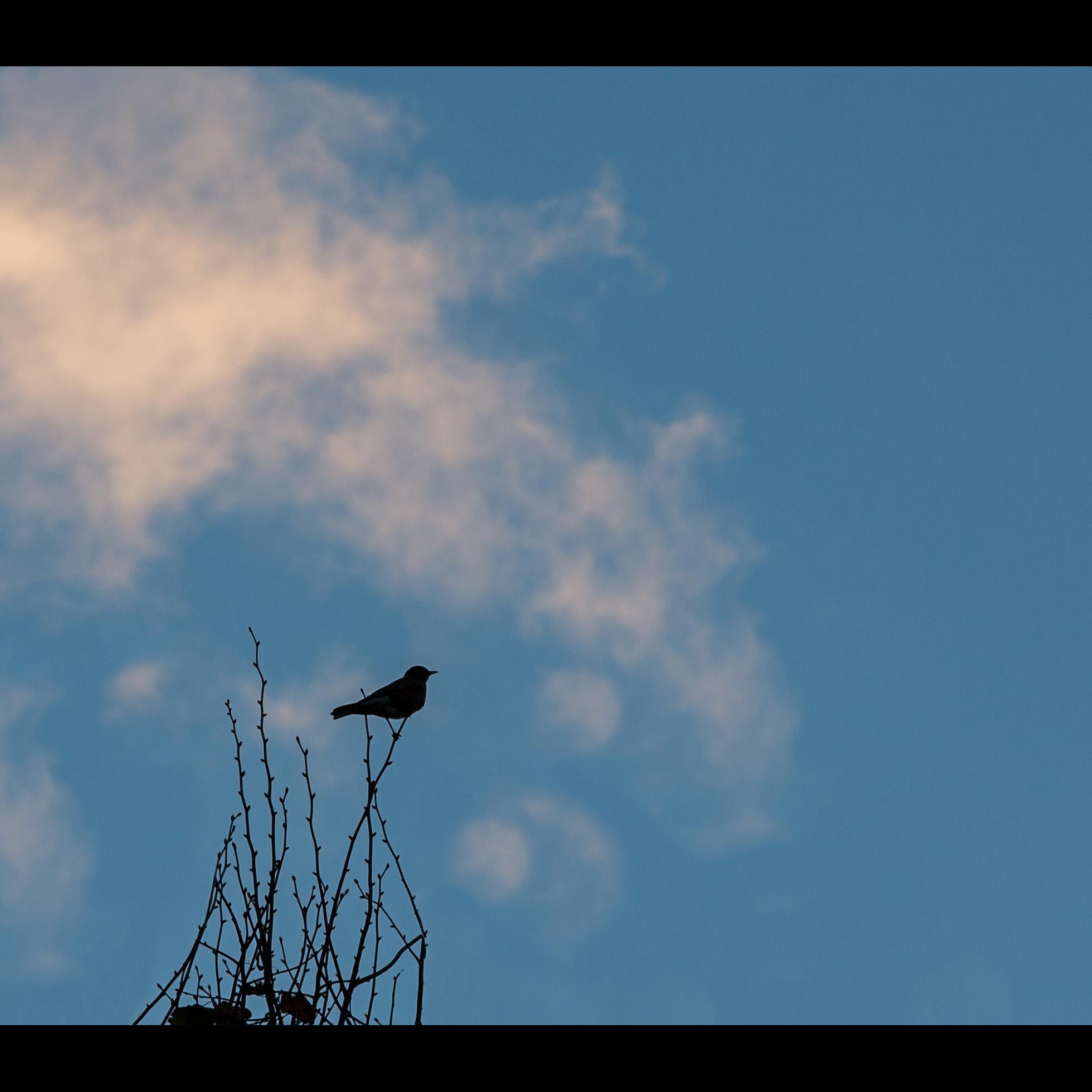 10.18 RED-WINGED BLACKBIRD