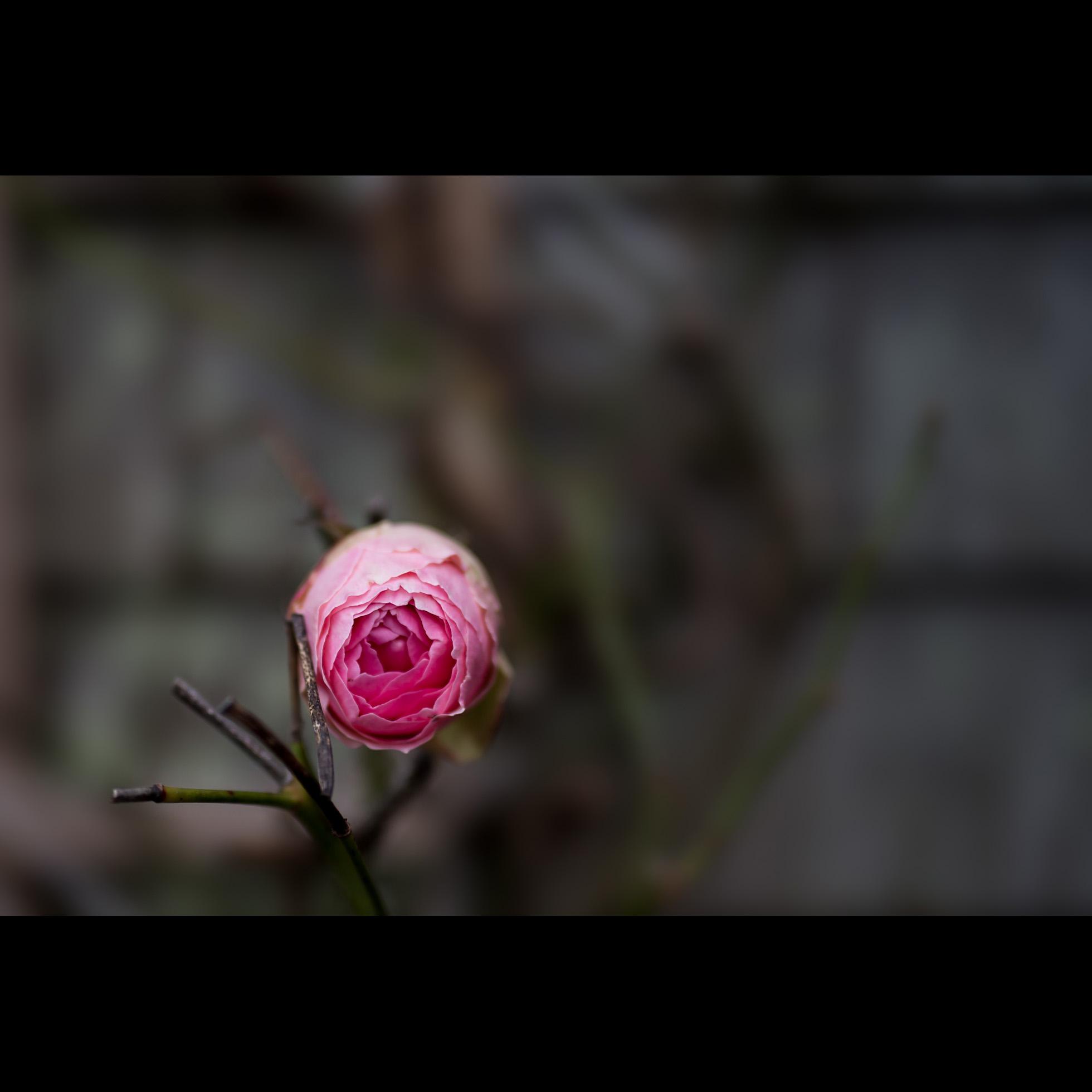 1.4 ROSE FOR A GIRL