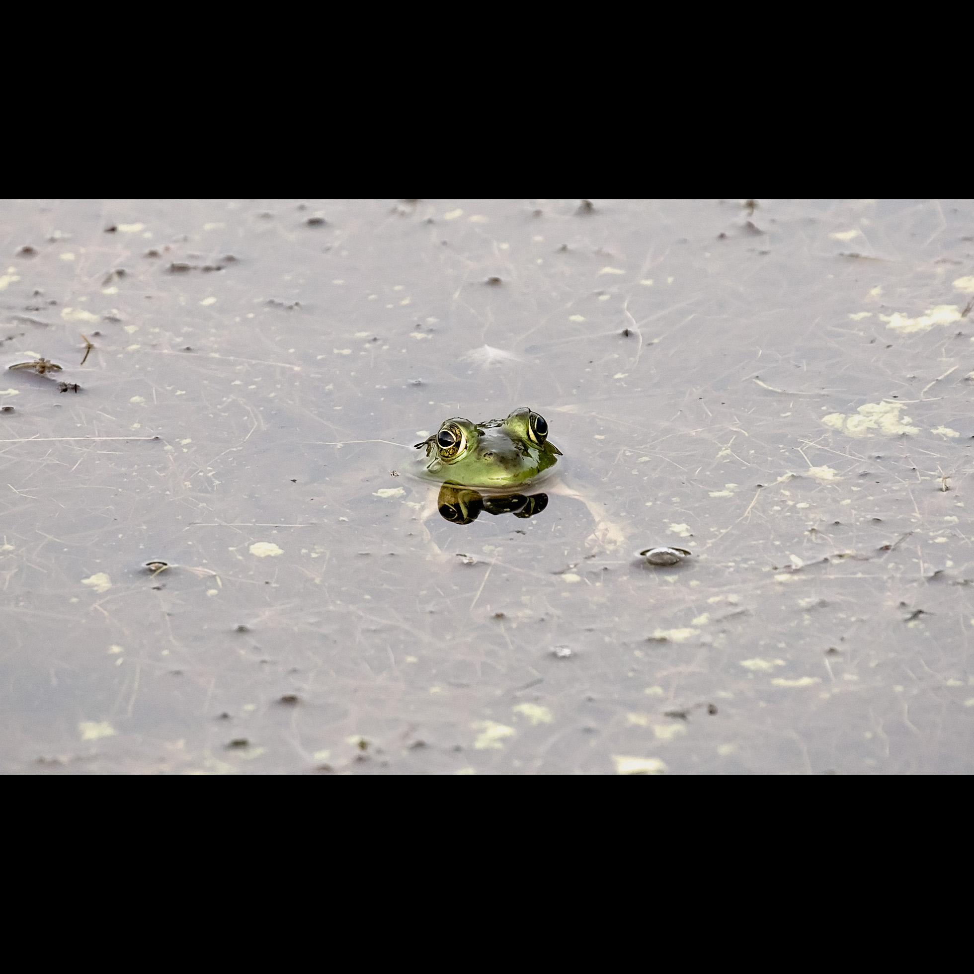 9.3 ICE POND GREEN FROG