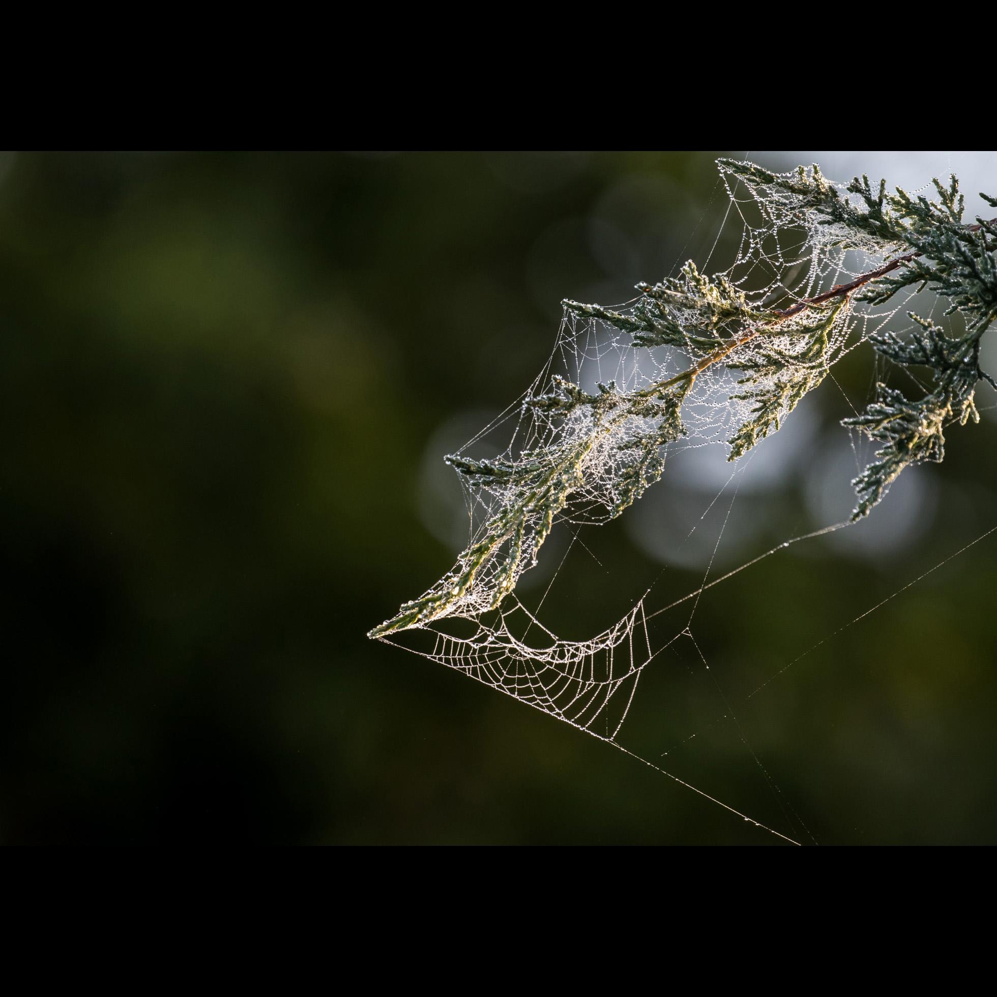 9.20 SPIDERWEB DEW