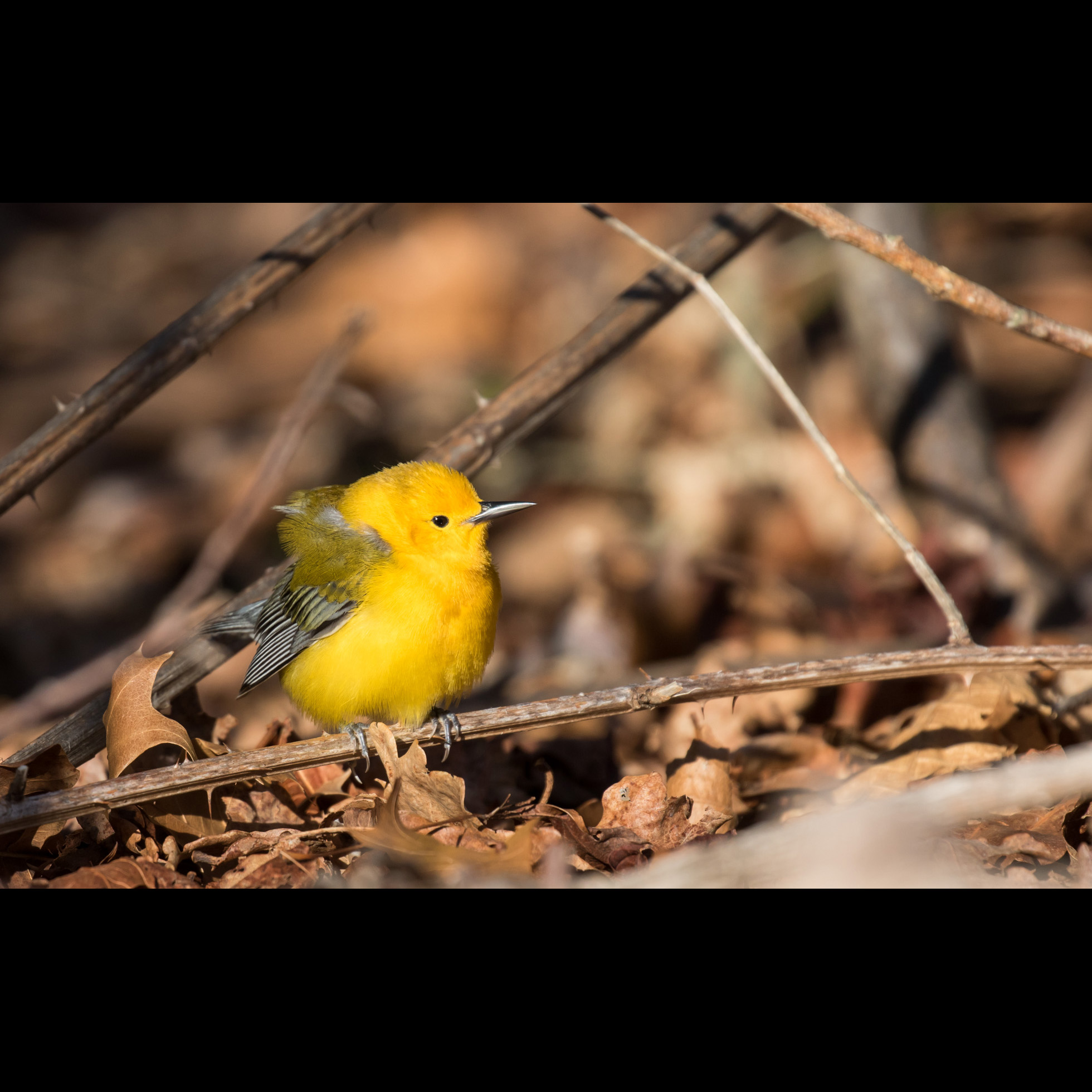 4.8 PROTHONOTARY WARBLER