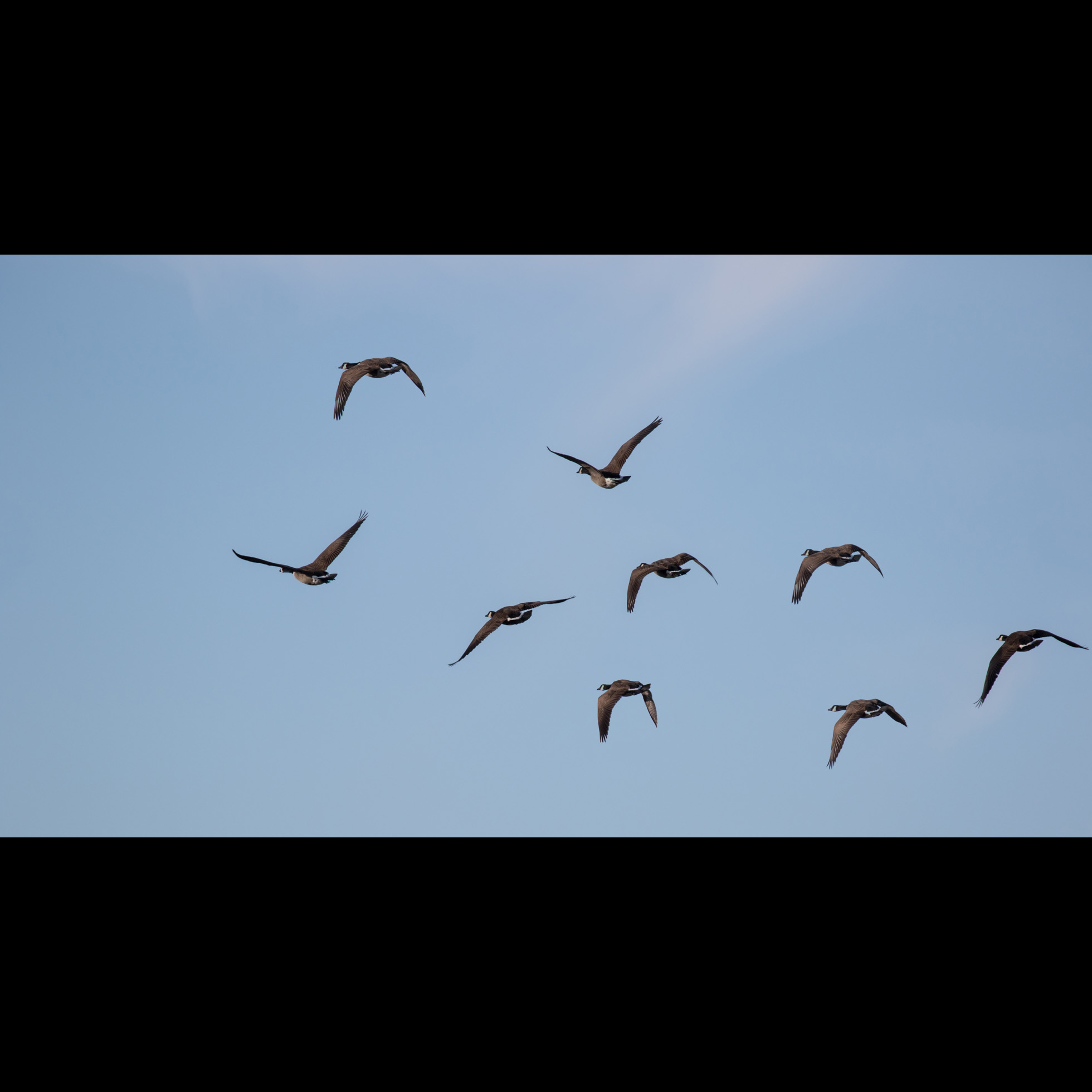 1.3 WILD GEESE