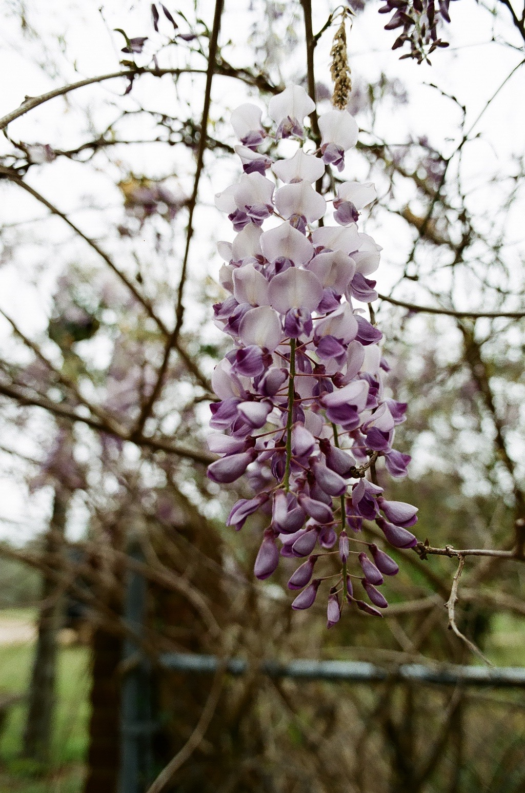 I'd never heard of Wisteria before moving here and despite the fact that my husband likes to remind me that it is invasive, I pretty much want to plant it and let it grow all over my house. It's so pretty!