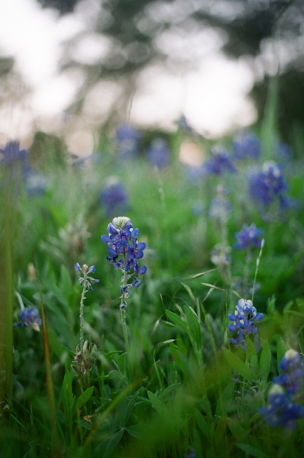 Bluebonnet  -AKA Texas Lupine, Buffalo Clover, Wolf Flower  -Scientific Name:  Lupinus Texensis