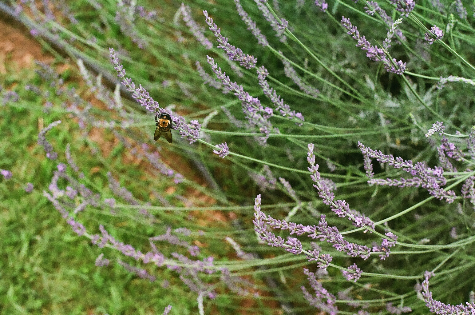 Red Oak Lavender Festival 10