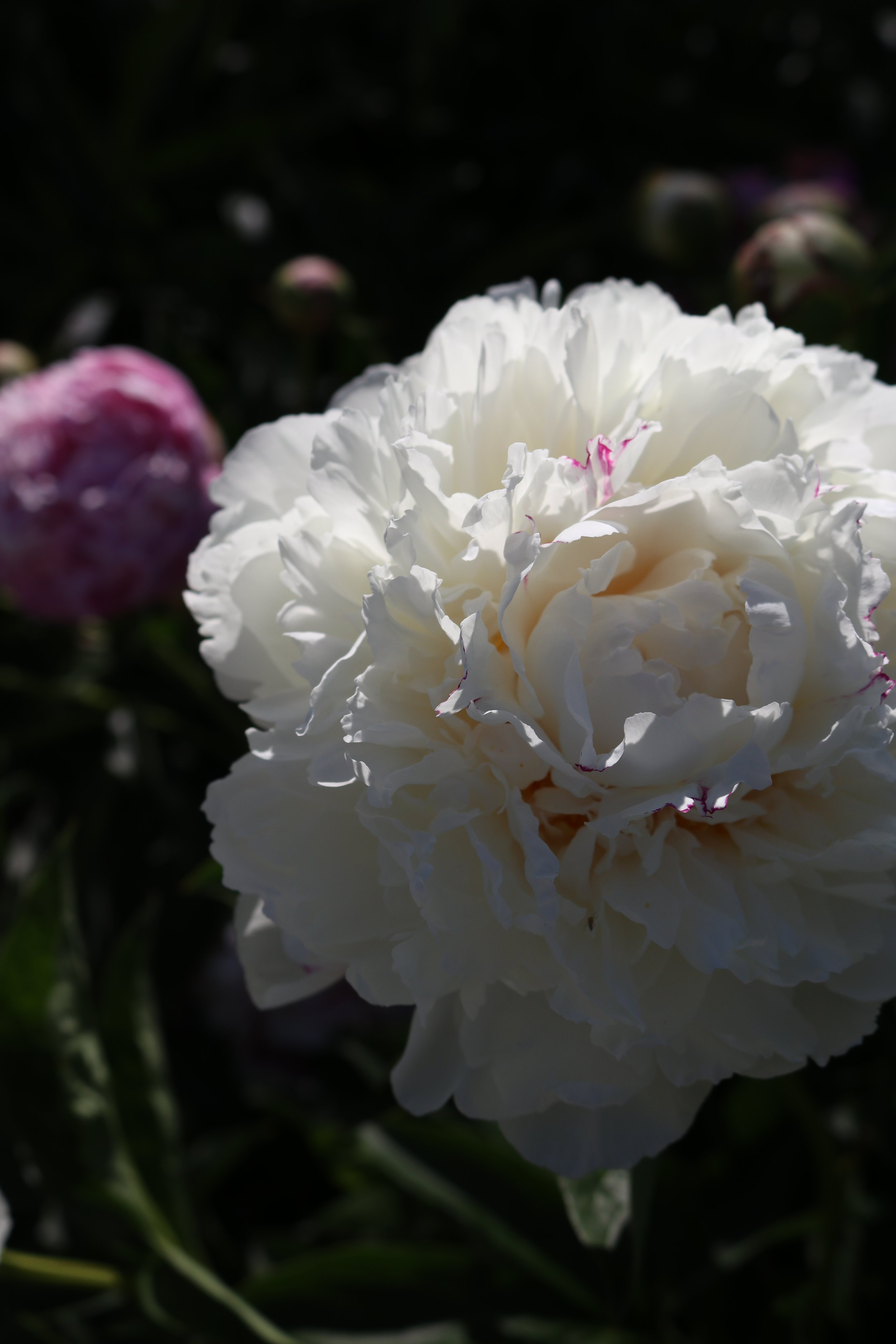 A gorgeous peony outside of capitol building in Bismarck. They don't really grow well in the south so I get excited whenever I see them!