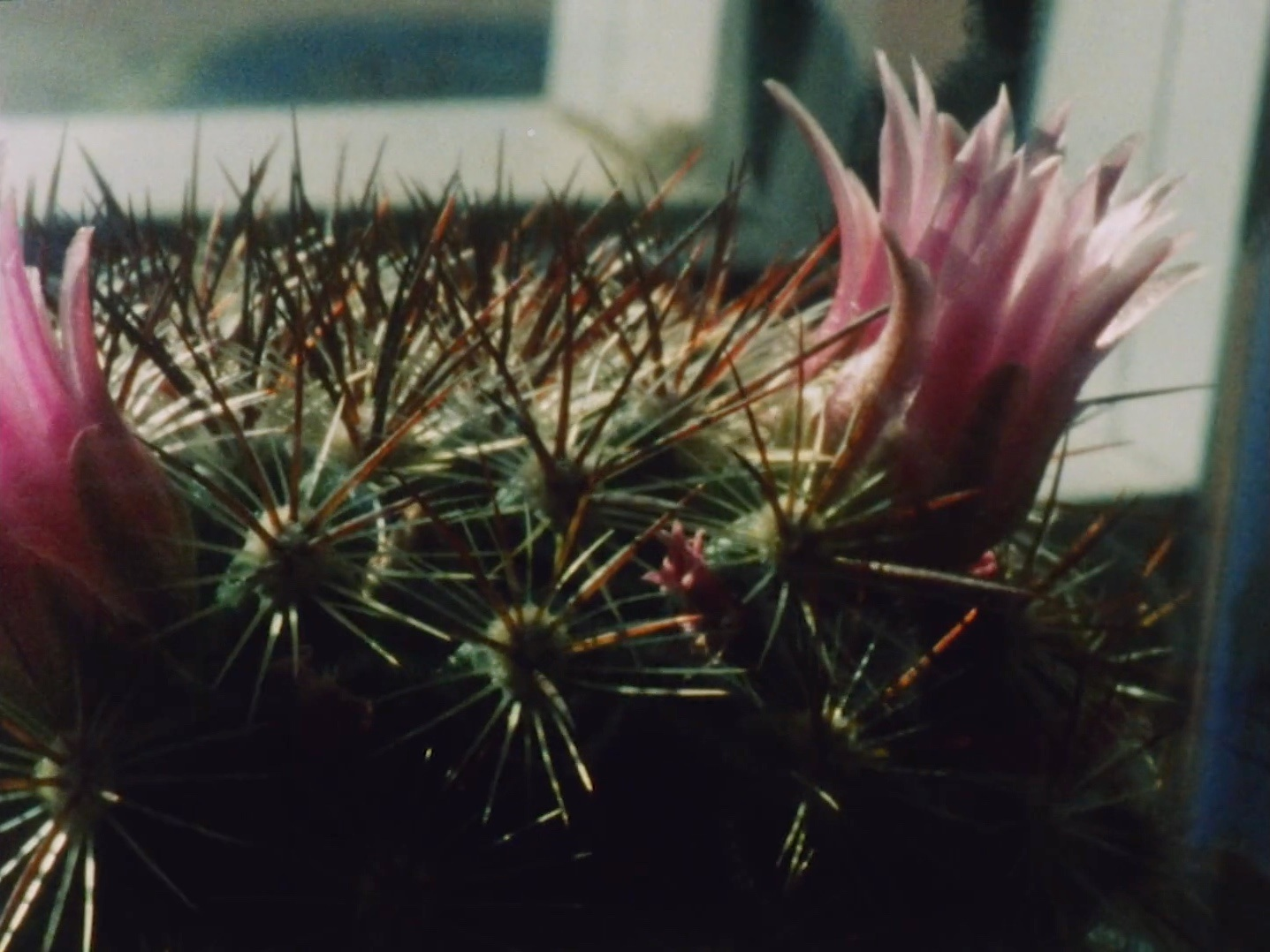 Helios     Eric Stewart   2018 | 5 minutes | USA | 16mm | color | sound  Time-lapses of cacti and succulent over the course of a year. Environmental data drives the tone and filtration of the sounds while the rising and setting of the sun illuminates plant growth in and out phase with each eachother. -ES