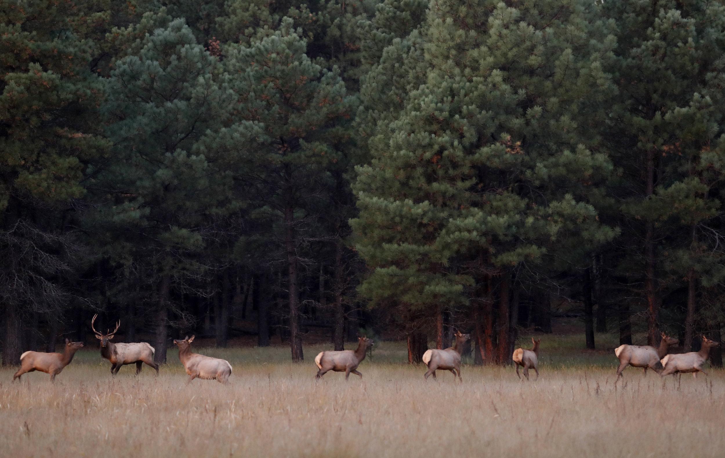 Elk run in a pasture at dawn on Saturday, Oct. 1, 2016, near Flagstaff, Ariz. (Kevin Martin)