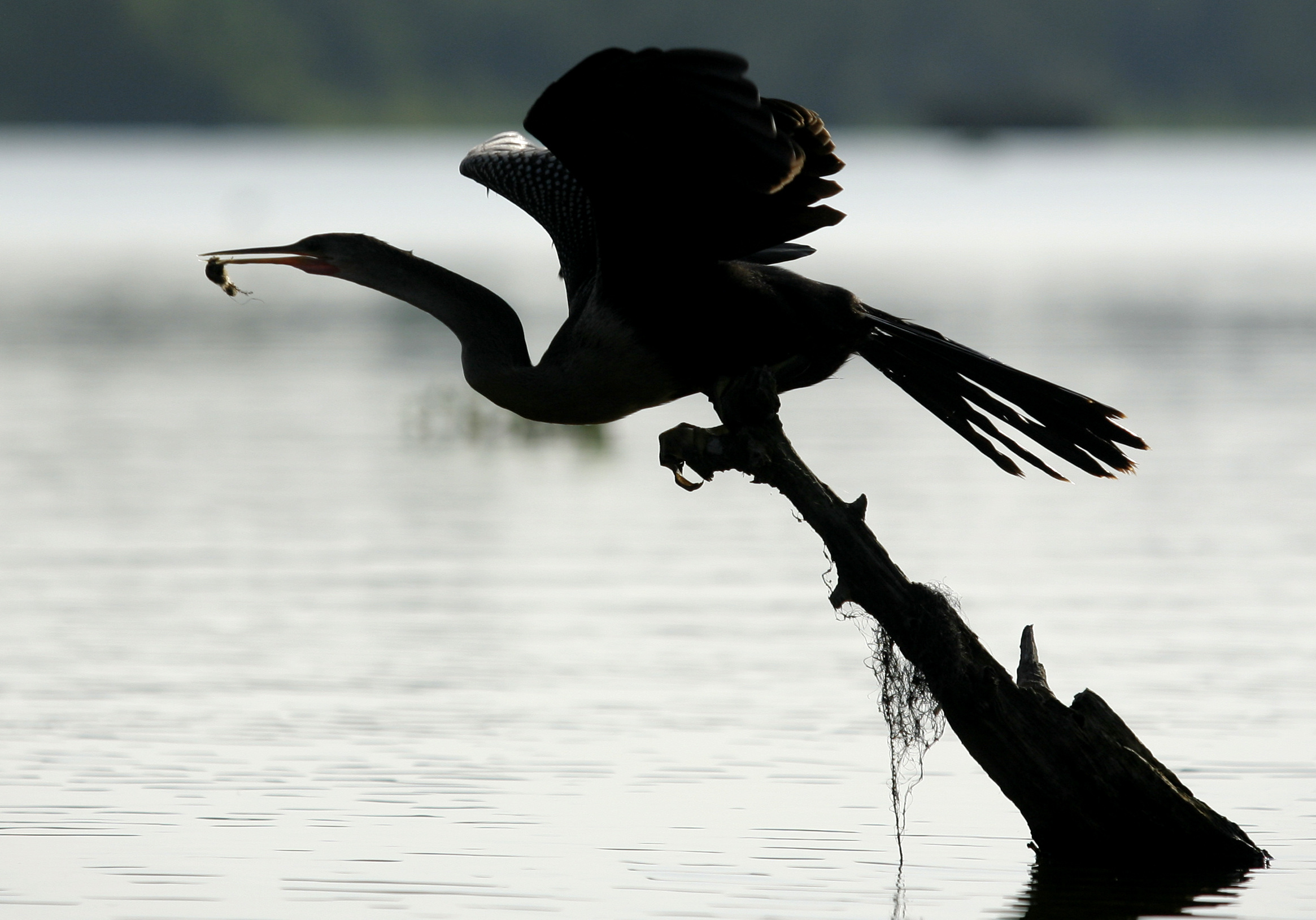An anhinga takes flight with a fish at Lake Martin on Saturday, August 16, 2010, near Breaux Bridge, La. (Kevin Martin)