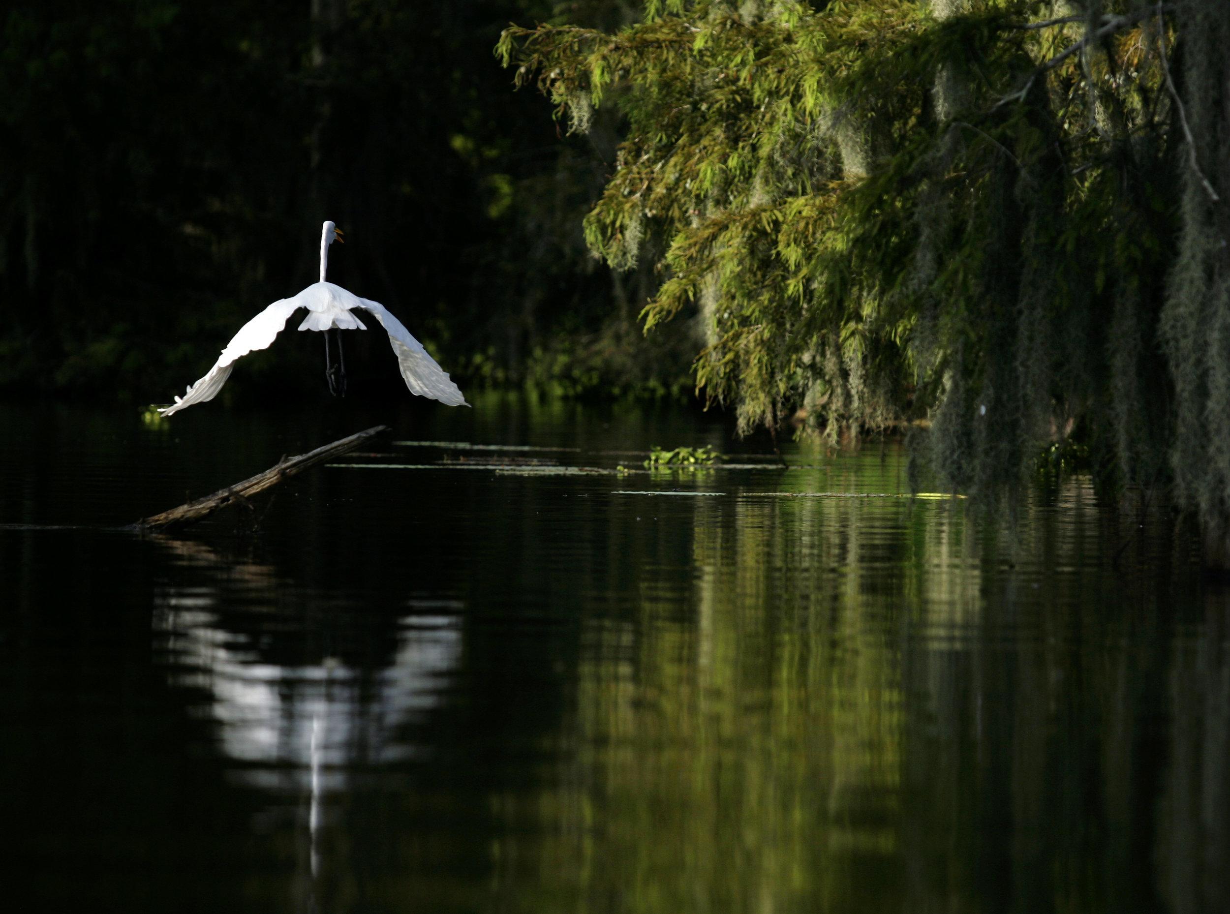 An egret takes flight at Lake Martin on Saturday, August 16, 2010, near Breaux Bridge, La. (Kevin Martin)