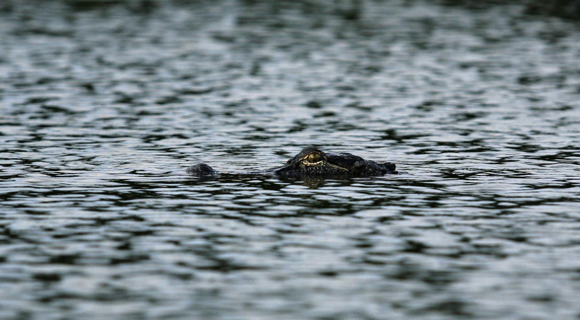 An alligator surfaces at Lake Martin on Saturday, Aug. 16, 2010, near Breaux Bridge, La. (Kevin Martin)
