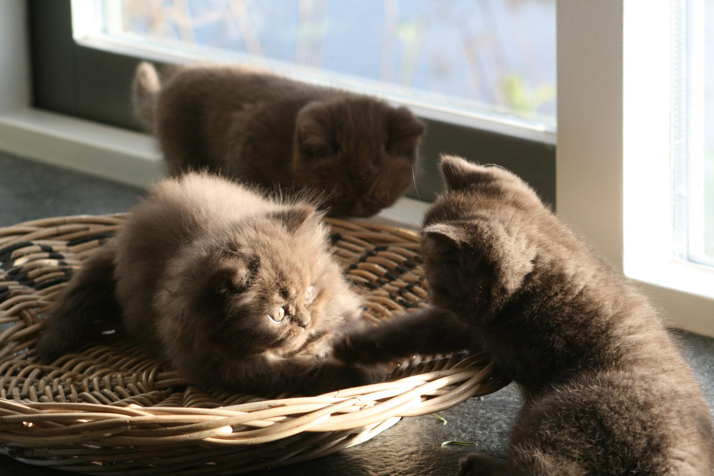britsekorthaar cattery