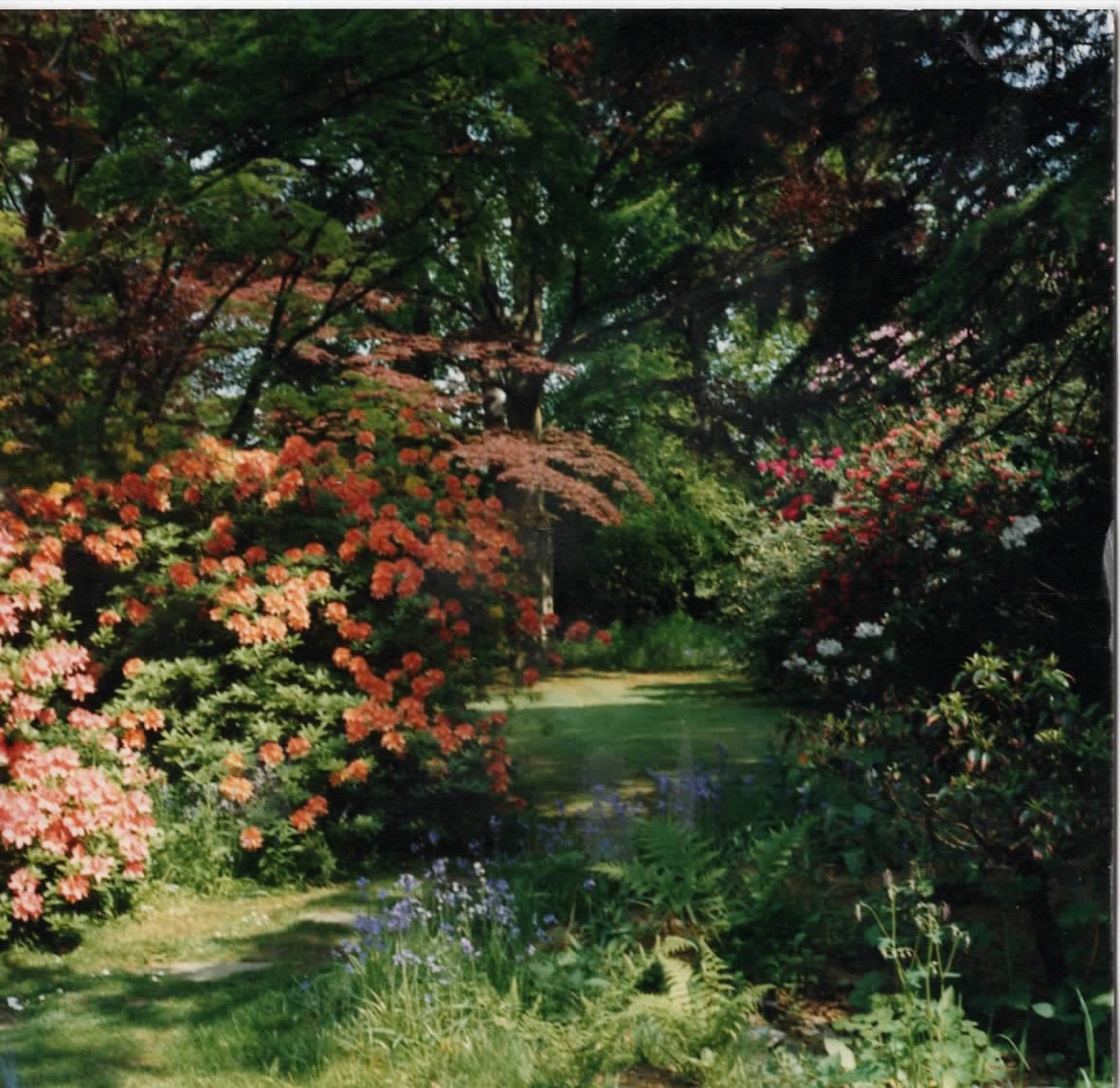 This garden was created around 1910 by the horticulturist owner of the big house next door. He brought many rare shrubs and  trees back from China, including rhododendrons and azaleas.