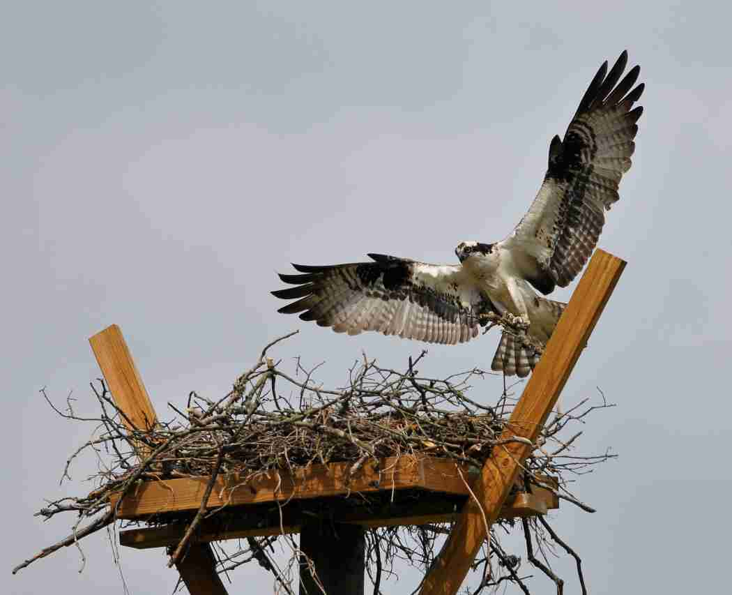 An osprey flying over its nest.