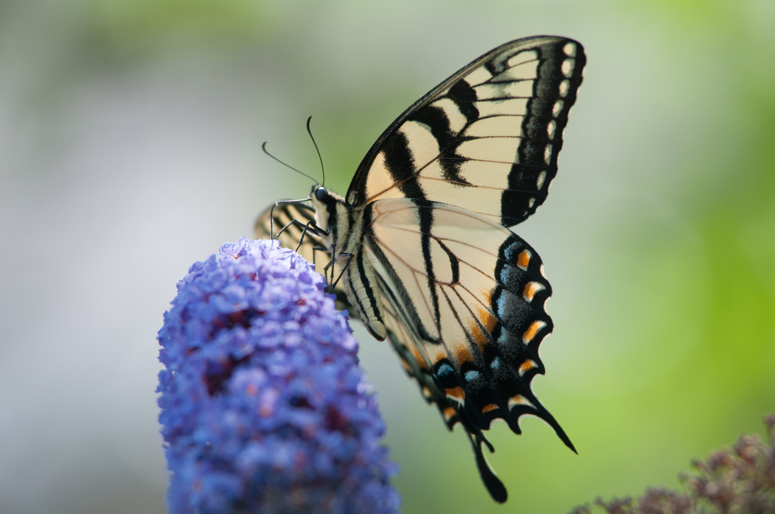 Photo by Amanda Johnson  [Image Description] A butterfly sitting on top of a flower.