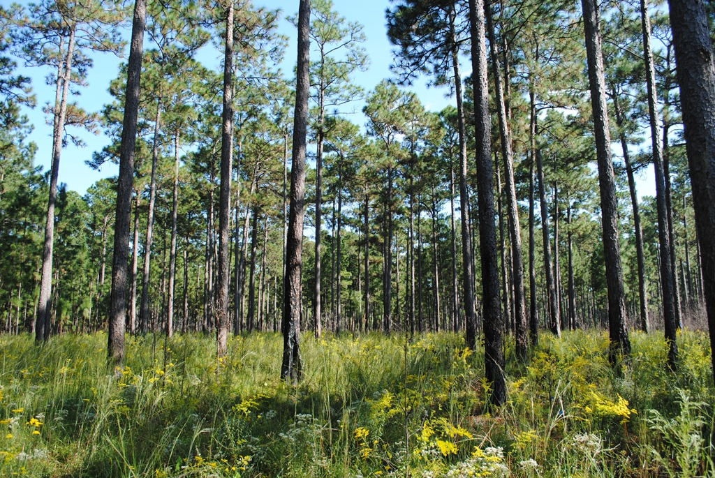 [Image Description] A long-leaf pine forest.