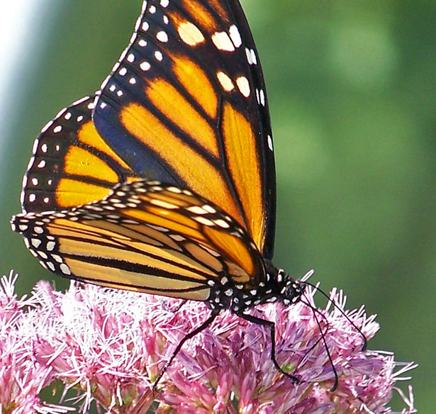 [Image Description] A Monarch butterfly on a Common Milkweed flower.