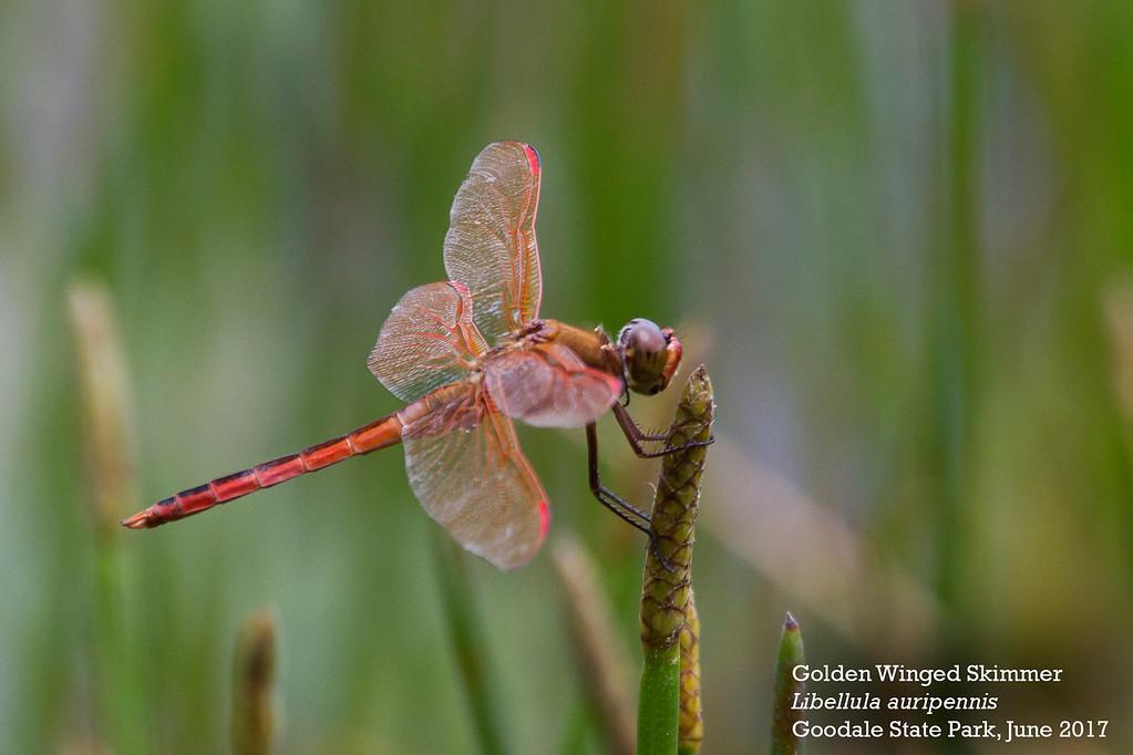 Golden Winged Skimmer3-XL by Andrew Lazenby.jpg