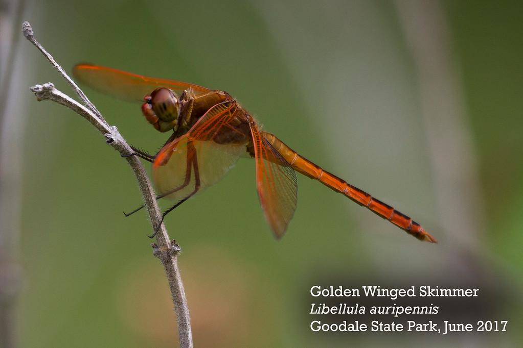 Golden Winged Skimmer-XL by Andrew Lazenby.jpg