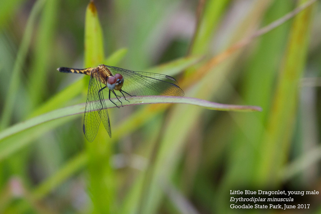 Little Blue Dragonlet  young male-XL by Andrew Lazenby.jpg