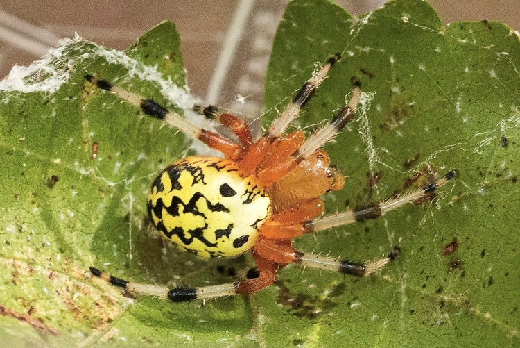 Marbled Orb-weaver by Craig Williams